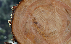 樹芯が中心にくる粗挽き加工
